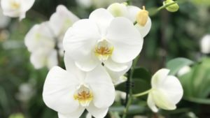 Orchid Plants - 7 Strategies to Guarantee Healthier Orchids